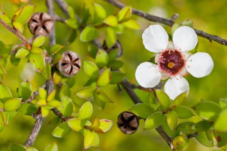 Detail of tea tree flower and seed boxes